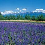 【北海道】ラベンダー畑の時期の見頃に訪れたい!